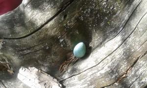 """Pesästään pudonnut. Löysimme lasten kanssa mustarastaan munan. Lapset intoutuivat """"hautomaan"""" sitä. Lopulta voikukista tehty pesä asetettiin hyvään paikkaan. Ehkä joku rastasemonen otti sen suojiinsa tai sitten se joutui luonnonkiertokulun jatkeeksi..."""